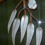 Gum leaf detail.